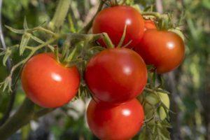 Описание сорта томата Полбиг, его характеристика и урожайность