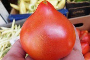Описание сорта томата Примадонна, особенности выращивания и ухода