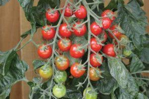 Описание сорта помидоров Рапунцель, их характеристика и урожайность