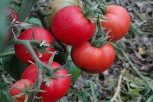 Описание раннего томата сорта Сам растет и его характеристика