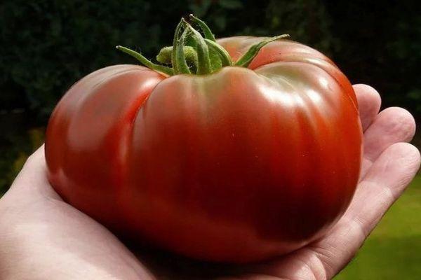 Крупноплодный помидор