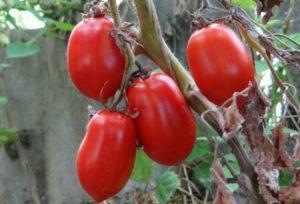 Описание сорта томата Сибирская тройка, его характеристика и урожайность