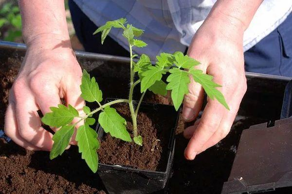 культивирование томата