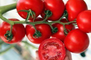 Описание сорта помидоров Т 34, особенности выращивания и ухода