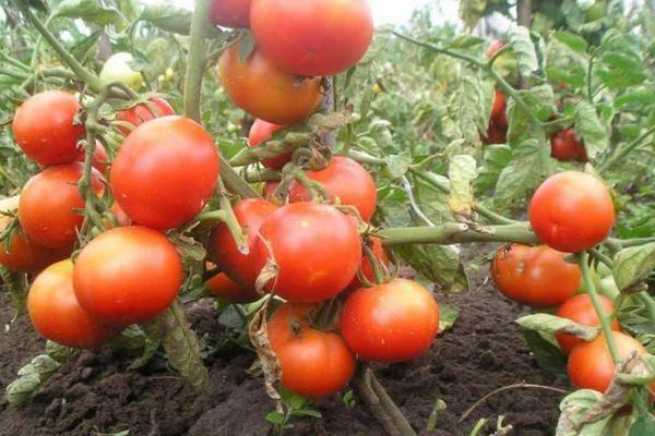 Кусты томата