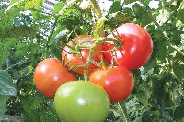 Ветка с помидорами