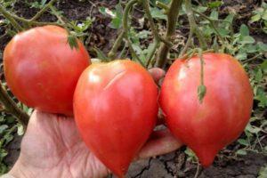 Характеристика томата Японка, выращивание рассады и уход за кустами