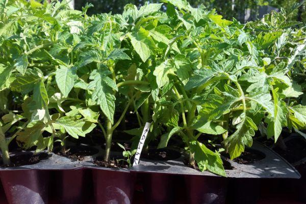 ростки томата