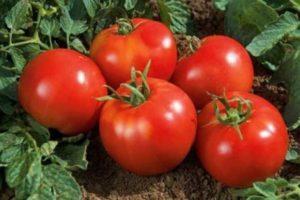 Описание лучших сортов томатов для Самарской области
