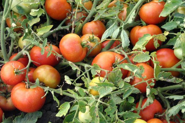 Кусты с помидорами