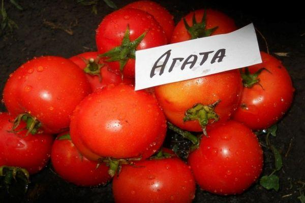 Помидоры Агата