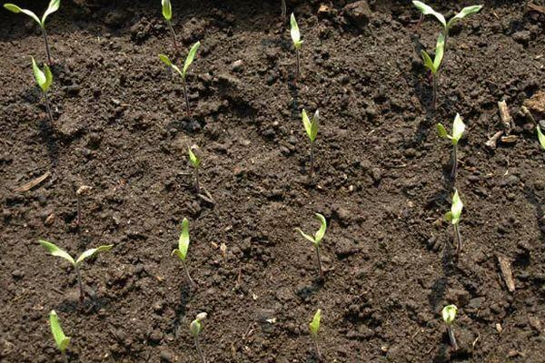 семена в грунте