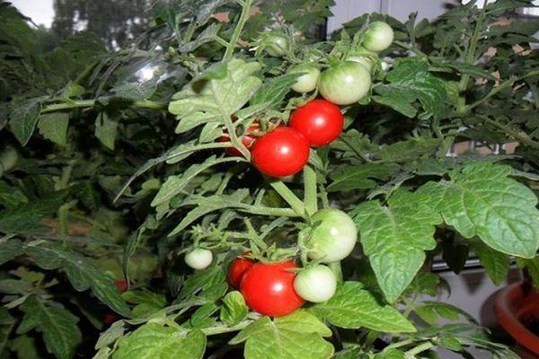 Декоративный помидор