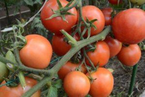 Описание сорта томата Ямал, его характеристика и выращивание