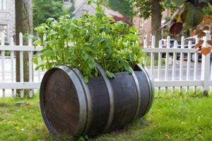 Особенности выращивания помидоров в бочке, плюсы и минусы, правила ухода