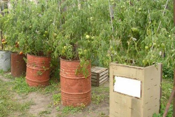 помидоры в бочке