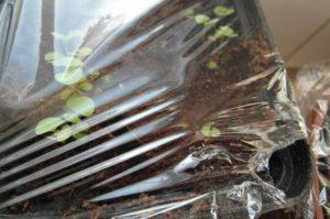 Когда нужно снимать пленку с рассады помидоров при выращивании под накрытием