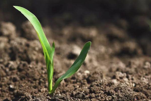 Росток кукурузы