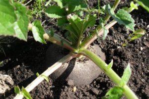 Агротехника выращивания и ухода за редькой в открытом грунте, когда сажать