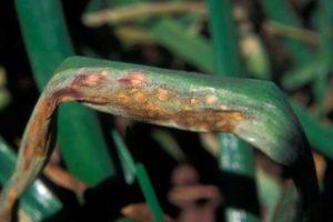 Болезни репчатого лука, лечение и борьба с ними на грядке