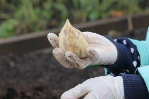 Описание, выращивание и агротехника гибрида чеснока и лука Рокамболь