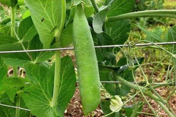 Овощной горох