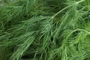 Как посадить и вырастить укроп из семян в домашних условиях на подоконнике зимой