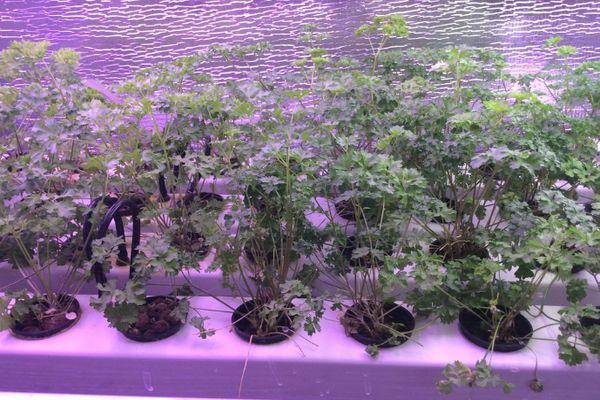 Агротехника зелени