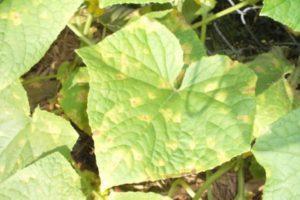 Причины появления мраморных листьев у огурцов, что делать, как и чем лечить