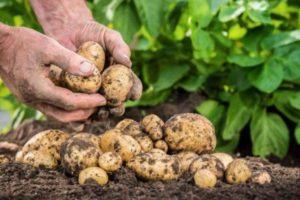 Как и чем правильно мульчировать картофель