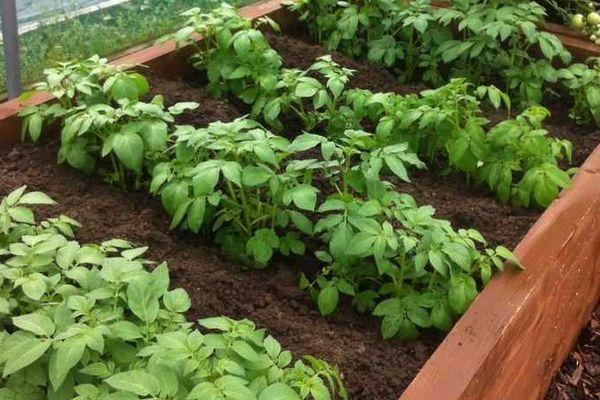 Саженцы картошки