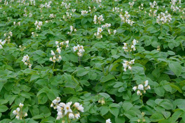 Цветение картошки
