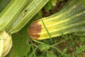 Почему кабачки плохо растут в открытом грунте и что делать для их лечения