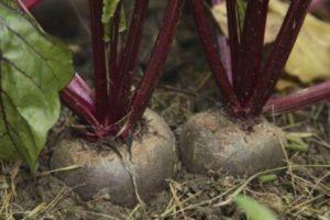 Как и когда правильно сажать свеклу семенами в открытый грунт