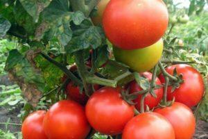 Описание сорта томата Монгольский карлик, особенности выращивания и ухода