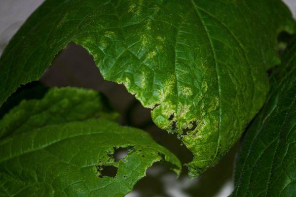 Сморщиваются листья