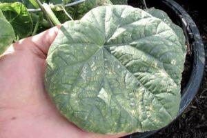 Почему листья у огурцов закручиваются во внутрь и что делать