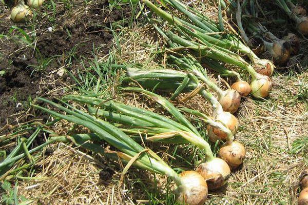 Луковицы на земле