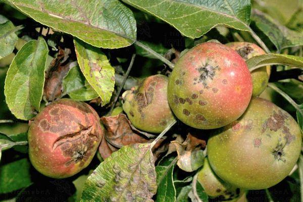 Парша у яблок