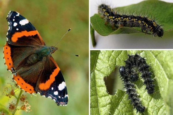 Гусеницы бабочки