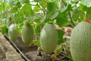 Как выращивать и ухаживать за дыней в теплице из поликарбоната