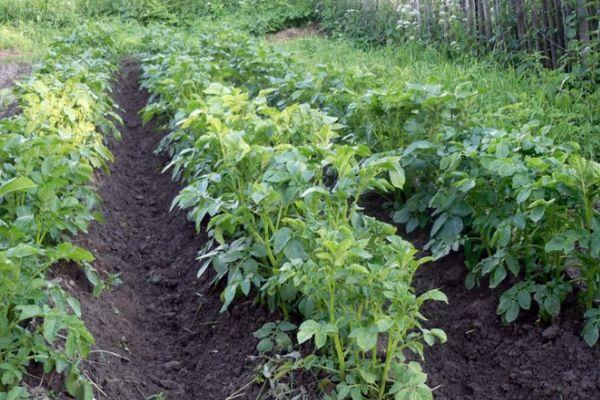 Грядки картошки
