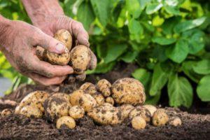 Агротехника выращивания картофеля в открытом грунте и теплице и уход