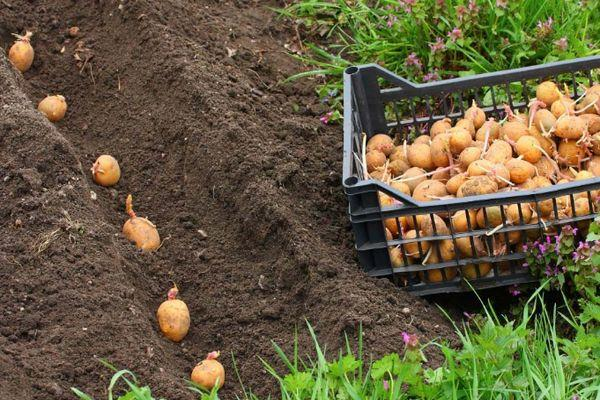 Посев картошки