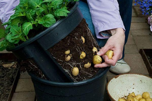 Плоды картофеля