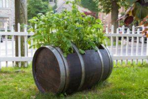 Технология выращивания и ухода за картофелем в бочке