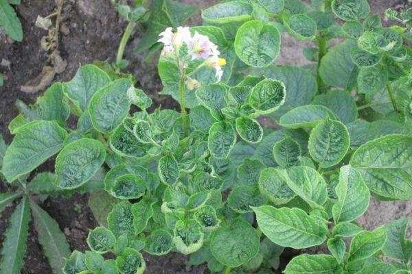 Листья картошки