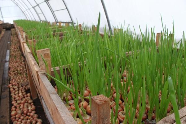 зеленый лук в парнике