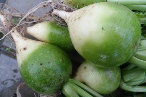Особенности выращивания, посадки и ухода за маргеланской редькой в открытом грунте
