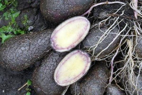 фото черного картофеля внутри